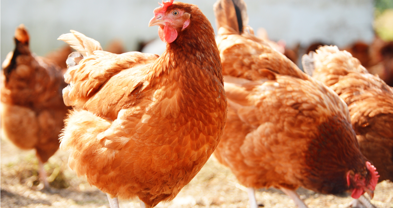 5 Tips for Buying a Chicken Farm for Sale in Texas