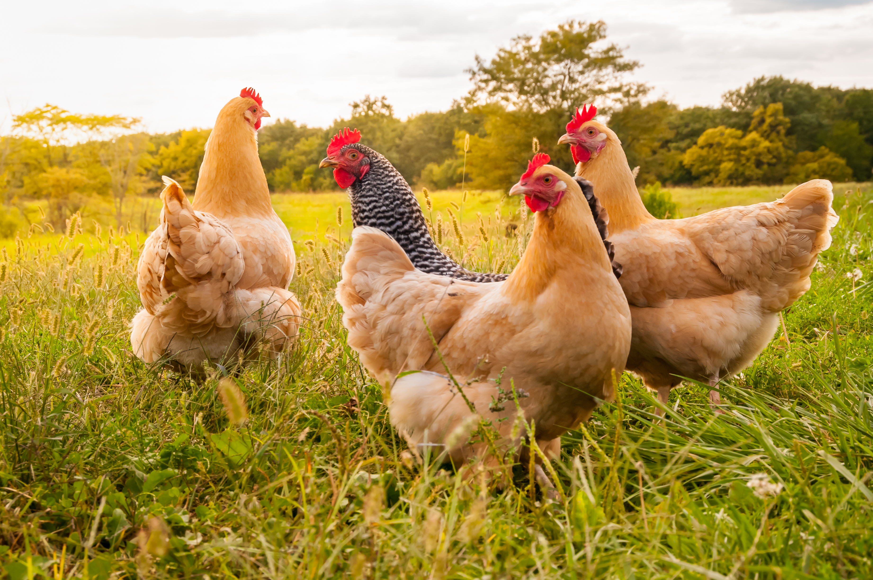 5 Tips for Buying a Chicken Farm for Sale in Arkansas