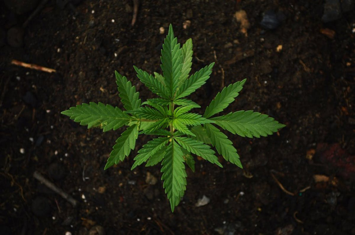 Cannabis plant in the soil