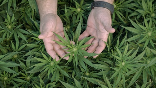 two hands cradling a cannabis plant