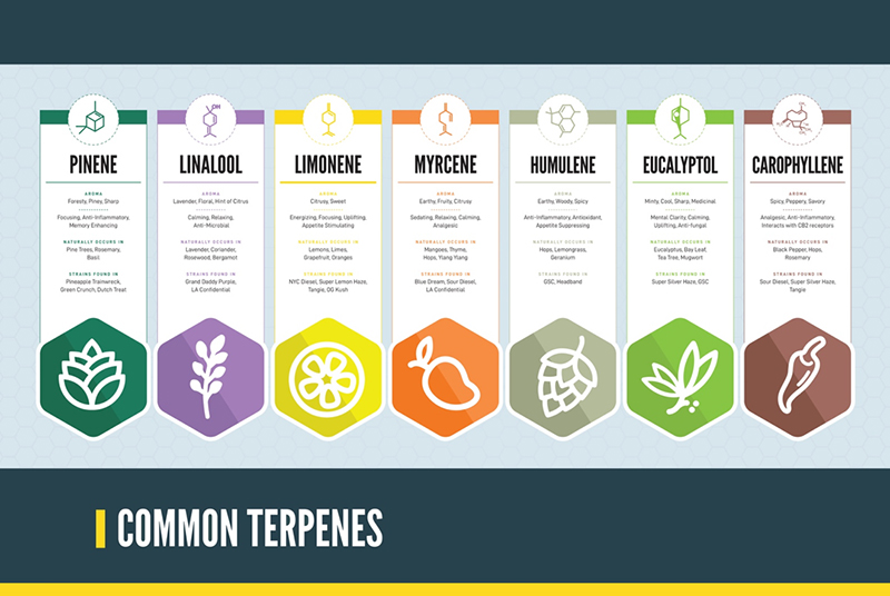 Infographic on common terpenes